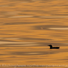 Guillemot [Uria aalge], sunset