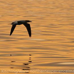 Northern Gannet [Morus bassanus]