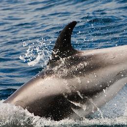 White-beaked Dolphin [Lagenorhynchus albirostris]