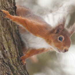 Red Squirrel [Sciurus vulgaris]