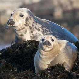 Grey Seals [Halichoerus grypus]