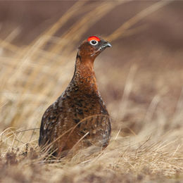 Red Grouse [Lagopus lagopus]