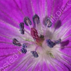 Bloody Cranesbill (Geranium sanguineum)