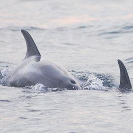 White-beaked Dolphins, Northumberland