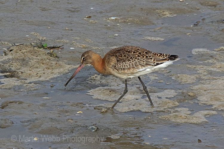 24373AC Black-tailed Godwit
