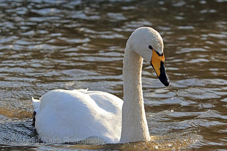 24804AC Whooper Swan