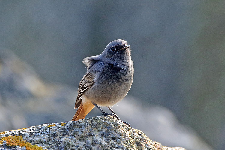 25030AC Black Redstart