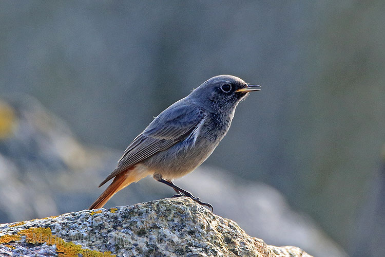 25031AC Black Redstart