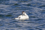 25164AC Great Northern Diver