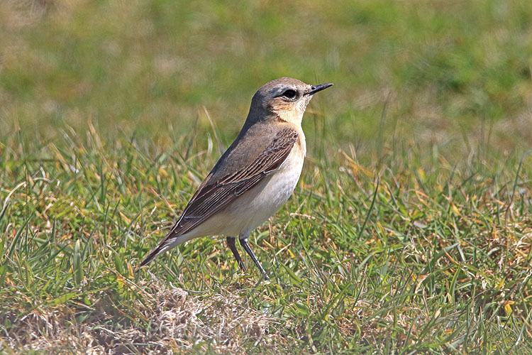 25400AC Northern Wheatear