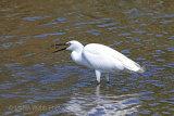 25674AC Little Egret