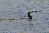 26277AC Cormorant