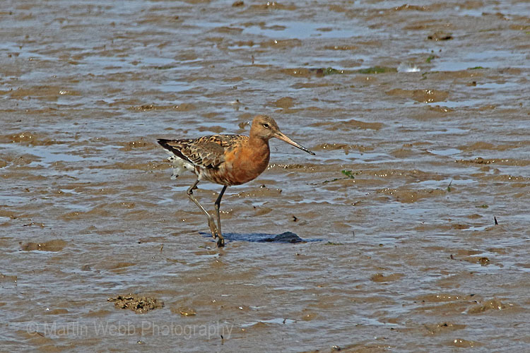 26401AC Black-tailed Godwit