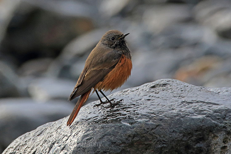 27930AC Eastern Black Redstart
