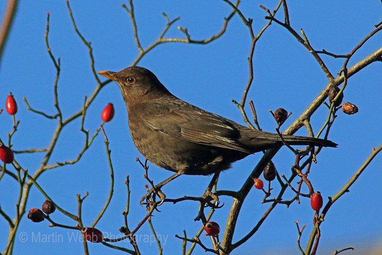 27998AC Blackbird