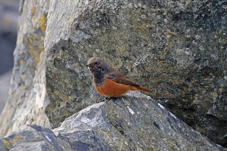 28071AC Eastern Black Redstart