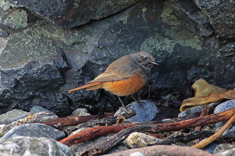 28076AC Eastern Black Redstart