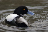 28131AC Tufted Duck
