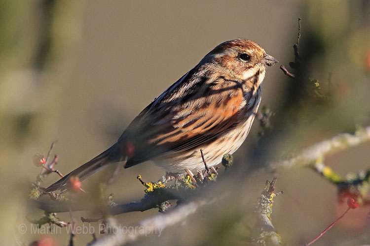 28401AC Reed Bunting