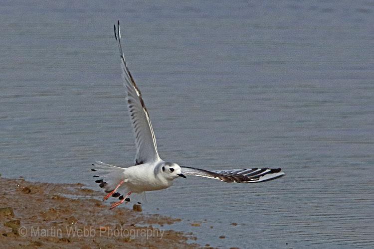 28598AC Little Gull