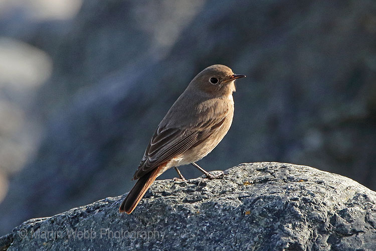 28828AC Black Redstart