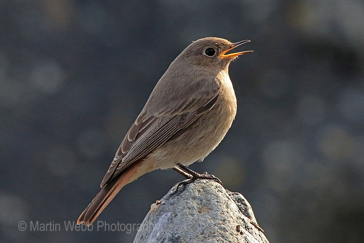 28838AC Black Redstart