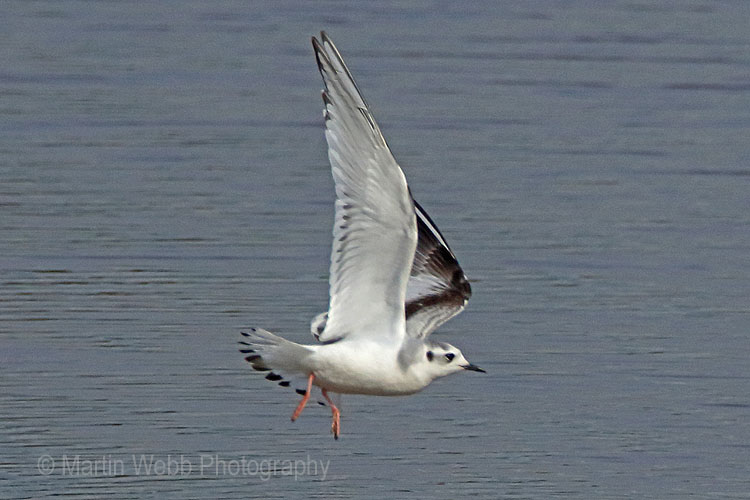 28962AC Little Gull