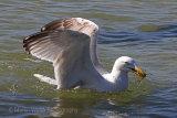 29460AC Herring Gull