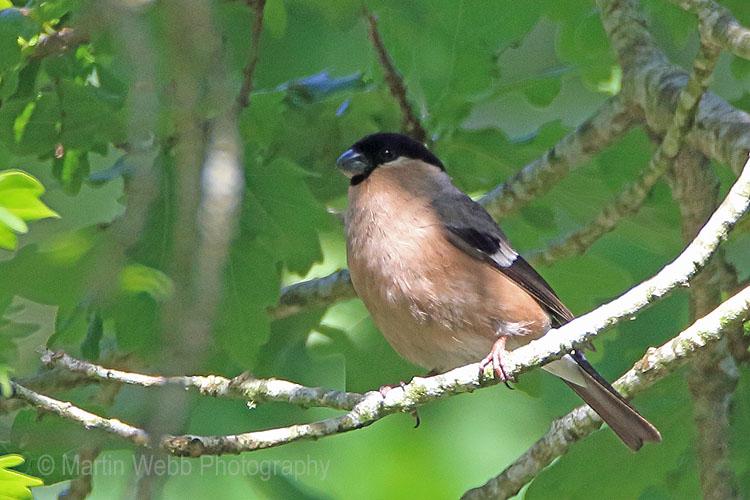 30251AC Bullfinch
