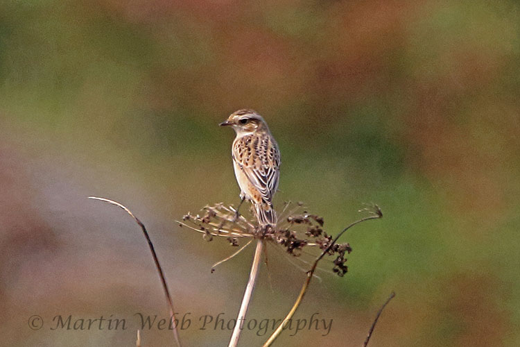 31338AC Whinchat