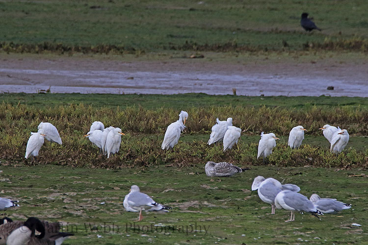 32181AC Cattle Egret