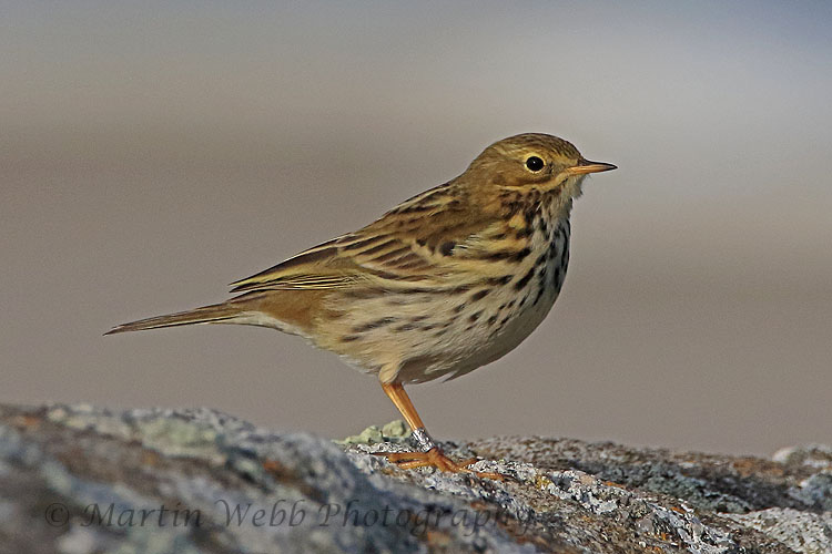 32464AC Meadow Pipit