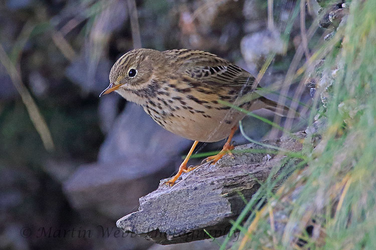 32508AC Meadow Pipit