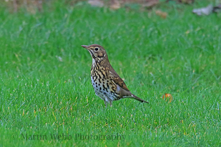 33252AC Song Thrush