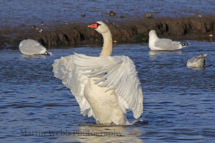 33294AC Mute Swan
