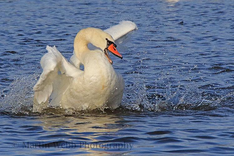 33297AC Mute Swan