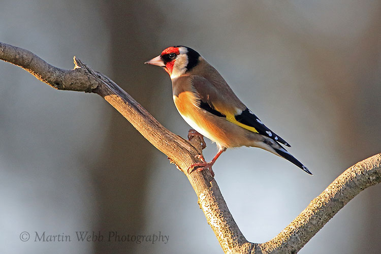 33980AC Goldfinch