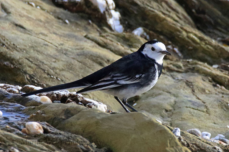 34168AC Pied Wagtail
