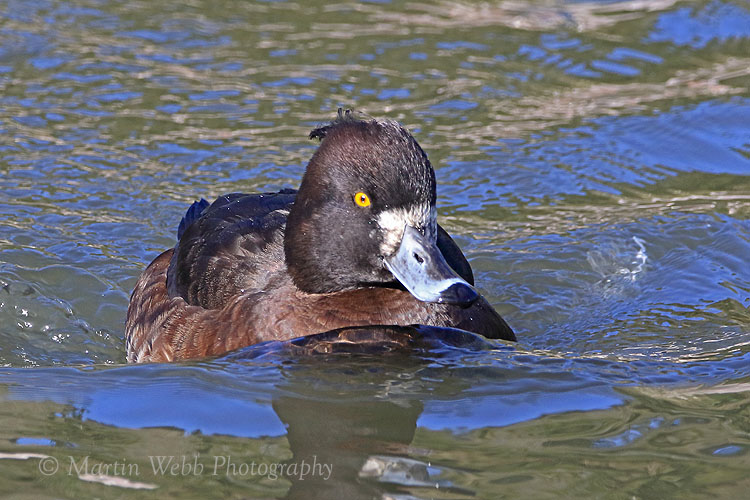 34347AC Tufted Duck
