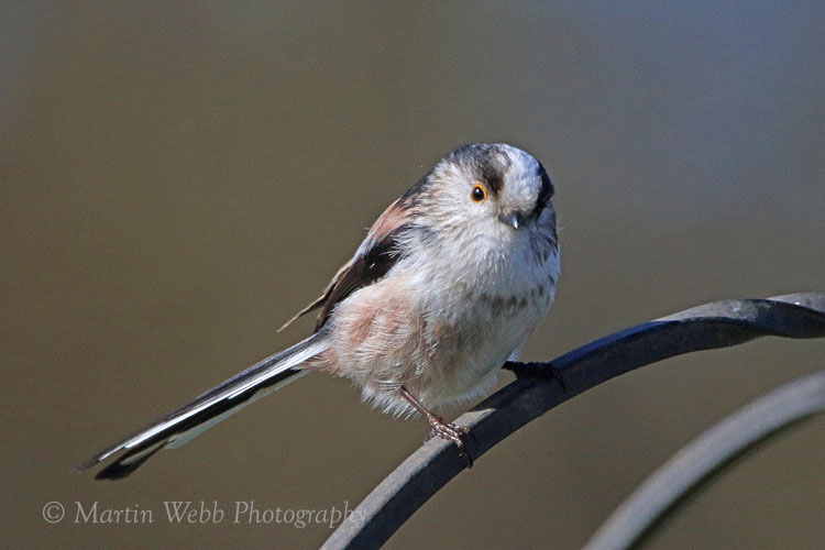 35000AC Long-tailed Tit