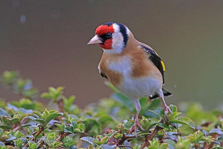 35101AC Goldfinch
