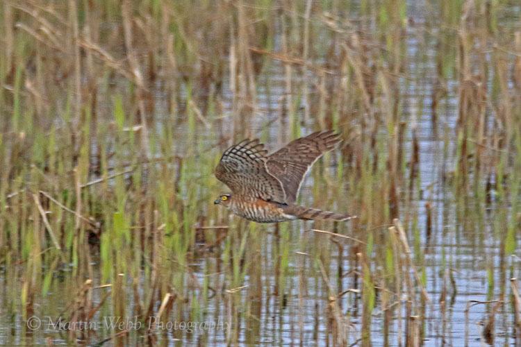 35154AC Sparrowhawk