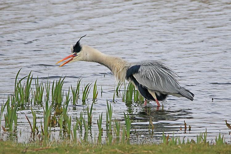 35178AC Grey Heron