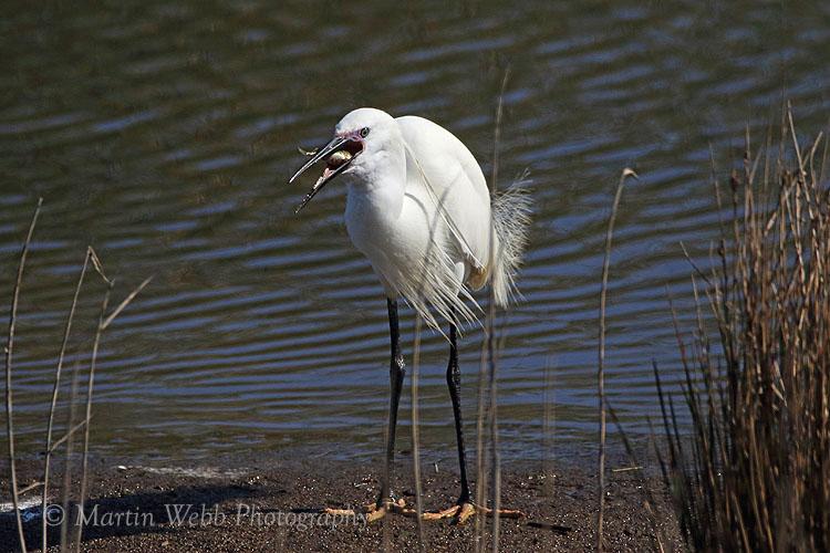 35296AC Little Egret