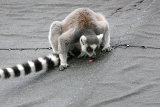 5749 Young Ring-tailed Lemur