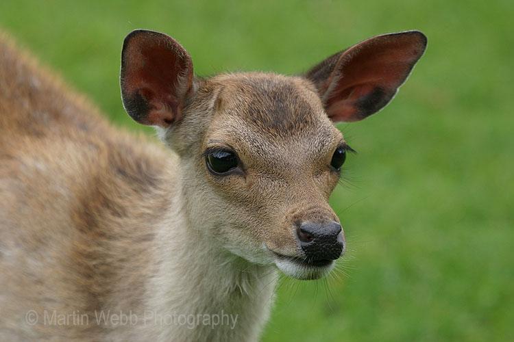 5824 Fallow Deer Calf