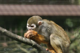 6117 Squirrel Monkey