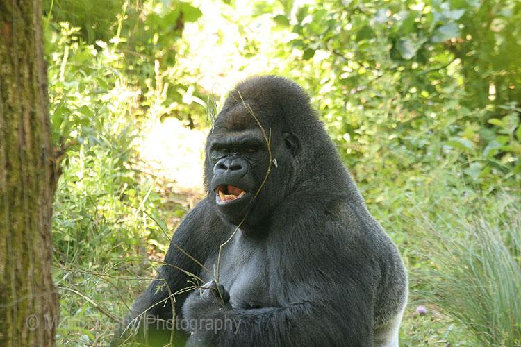 7253 Western Lowland Gorilla
