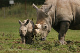 7701 White Rhino & Calf