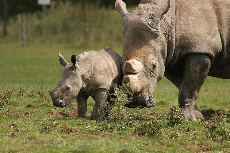 7702 White Rhino & Calf